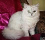 Продаётся  котята персидской шиншиллы